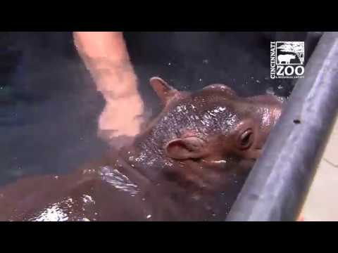 Premature Hippo Fiona in Big Kid Pool - Cincinnati Zoo