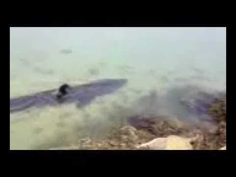 Basking Shark Seen In Pocasset