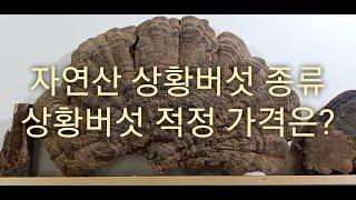 자연산 상황버섯 적정 가격과 상황버섯 종류