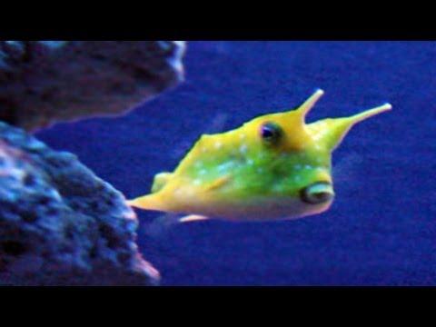 Cowfish (Lactoria Cornuta) - Marine Tropical Fish