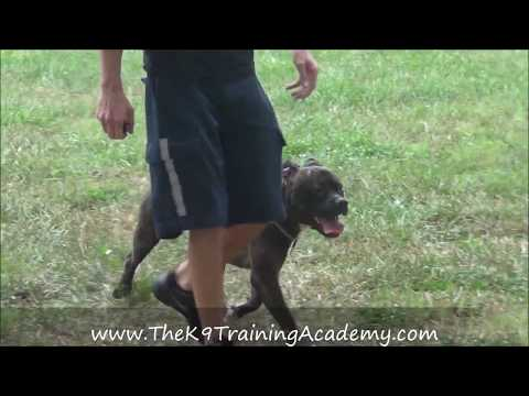 The K9 Training Academy - Pluto - Advance Obedience