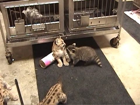 Baby COUGARS & RACCOONS Playing