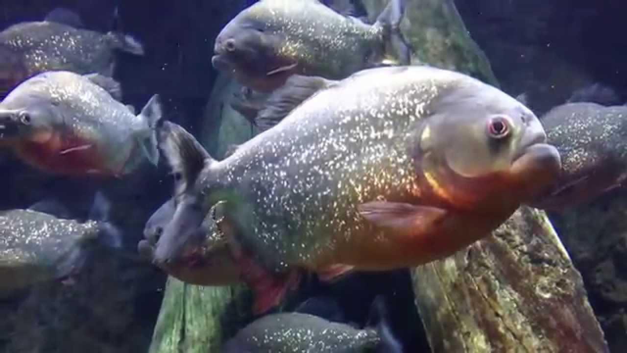 фото как выглядит рыба пиранья