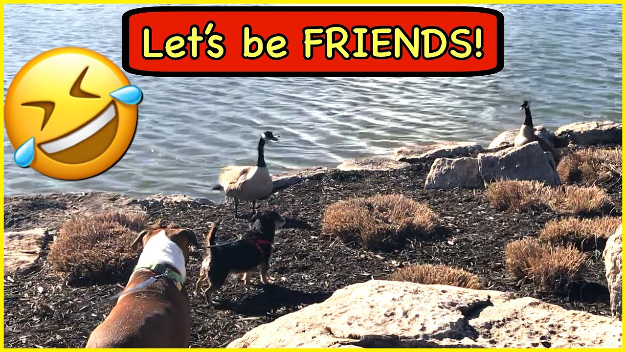 Cute little Dog wants to be friends with GEESE, Can they be FRIENDS? 🤣