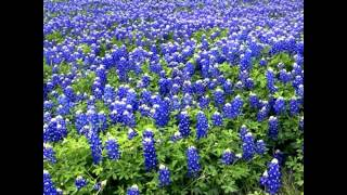 1-USA-Texas State Official Flower-Bluebonnets -HyVan