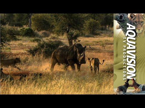Rhino attack Lion