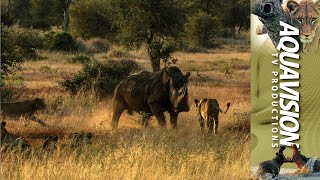 White Rhino attacks a Lion Pride when it gets a fright. --- The med...