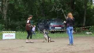 Восточно-европейская овчарка в послушании молодых собак.