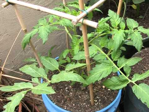 ace 55 tomato care growing