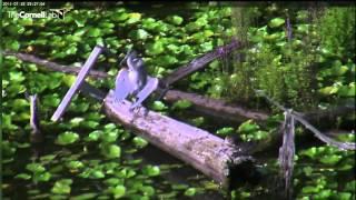 Juvenile Great Blue Heron wing drop with Wood Ducks & Green Heron 7-22-14 9:23AM