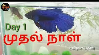 பைட்டர் மீன் Betta  Fish இனப்பெருக்க முறை நாள்1