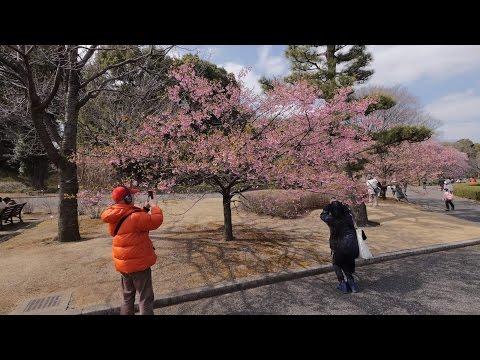 【4K】Tokyo Imperial garden almost blooming