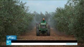 المغرب: واقع زراعة الزيتون في مكناس