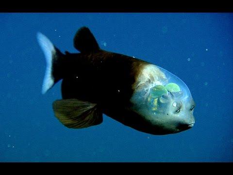 脳が透けて見える深海魚「デメニギス」とは?