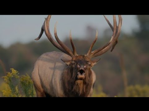 Bowhunting Elk, 16 Amazing Kills in 4 Minutes!!!