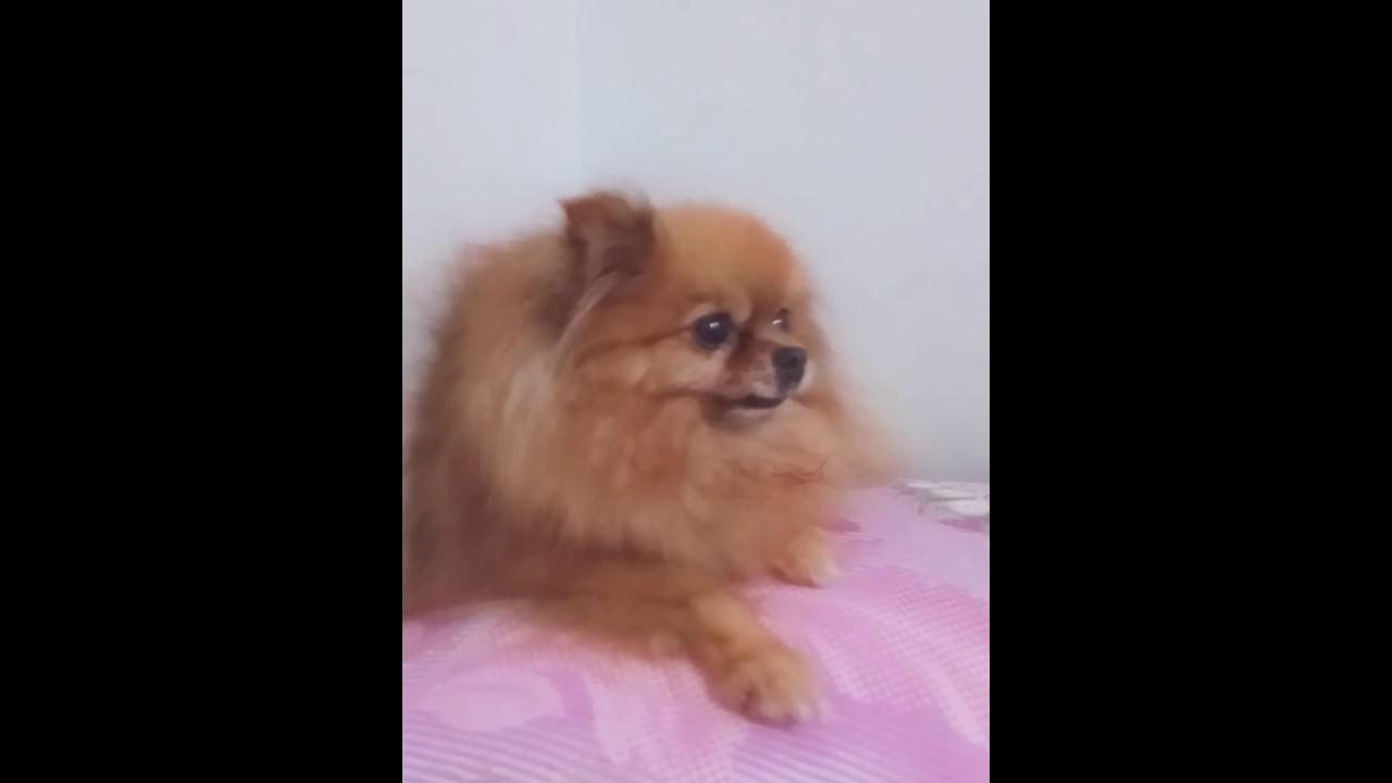 My Evil Pomeranian Possessed Lol Youtube