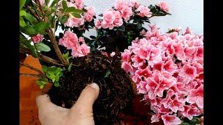 How to Grow and Replant Azalea Plants