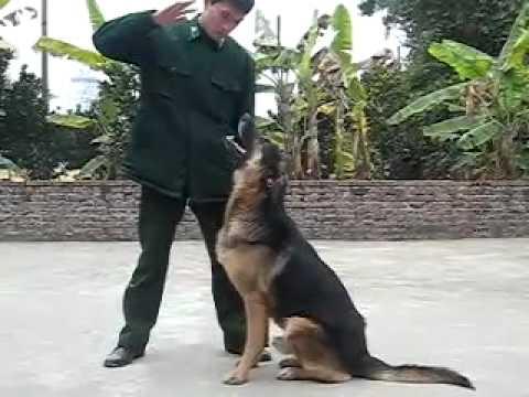 Tranning GSD (Border guards) - Bộ đội biên phòng huấn luyện GSD