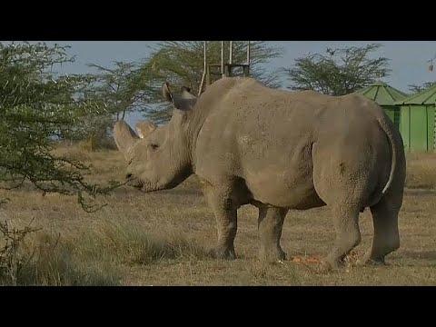 شاهد: وفاة آخر ذكور وحيد القرن الأبيض بكينيا  - نشر قبل 1 ساعة