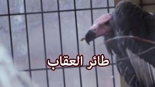 الحيوانات - طائر العقاب