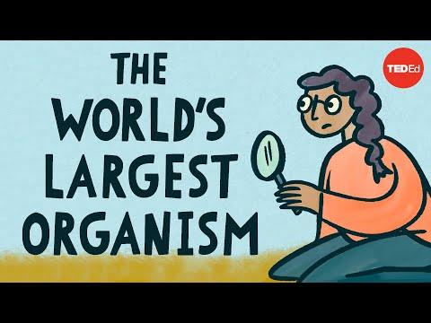 Video image: The world's largest organism - Alex Rosenthal