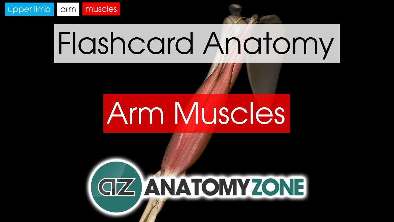 Arm Muscles | Flashcard Anatomy - YouTube