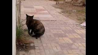 قطة تأكل العشب سبحان الله