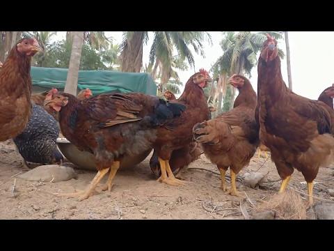 Giriraja and Vanaraja Chicken - Ruby farms Chennai