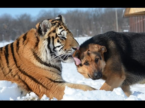 Amazing friendship between Siberian TIGER and German Shepherds at Slovakian wildlife sanctuary