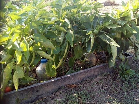 Перец сладкий. Тонкости выращивания в открытом грунте