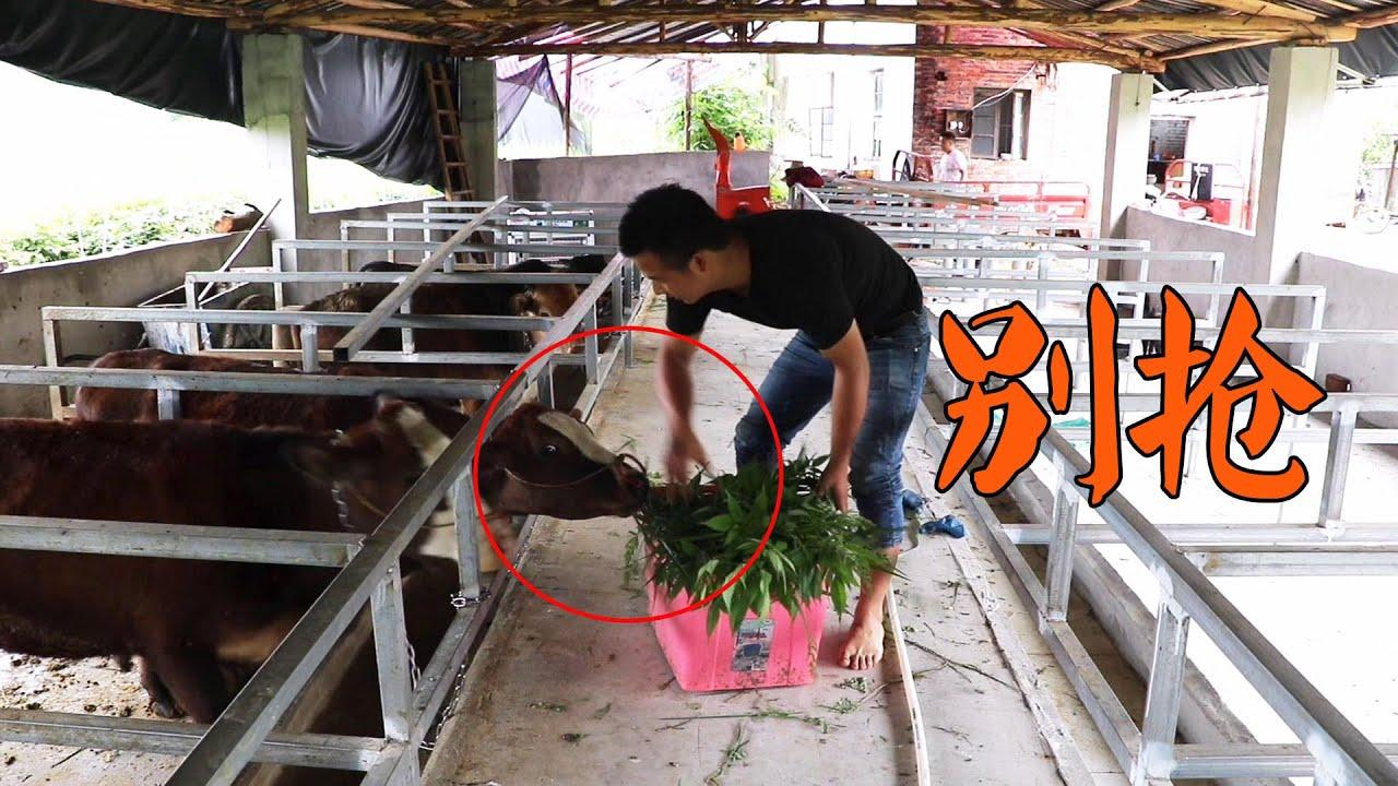 滿地的野草,三個農村小伙割去餵牛,牛吃了都會笑! ! 【石頭秀】