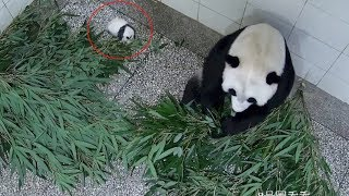 Is this how giant panda mothers look after their babies?