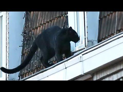 FRANKREICH: Panther spaziert auf Häuserdächern herum
