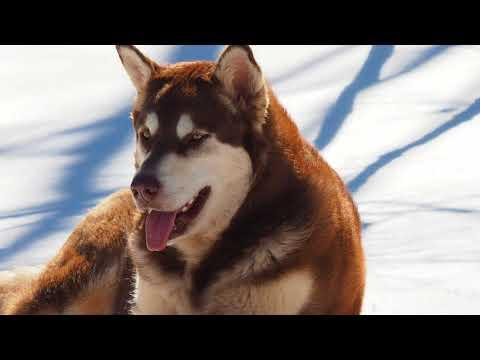 Mountain Ridge  Malamutes - Timber Here at Mountain Ridge Giant Alaskan Malamutes Loving The Snow