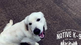 7 Month Old Golden Retriever Dog Training