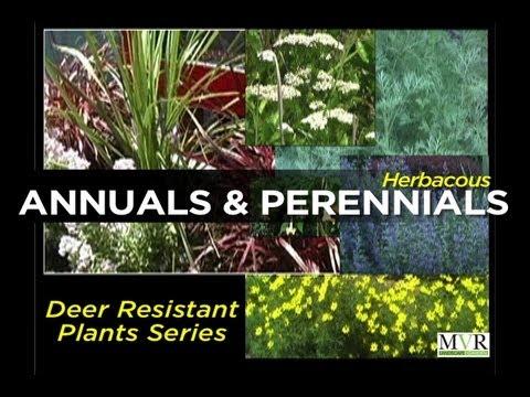 HERBACEOUS ANNUALS & PERENNIALS - Episode 2 Deer Resistant Plants (DRP) Series