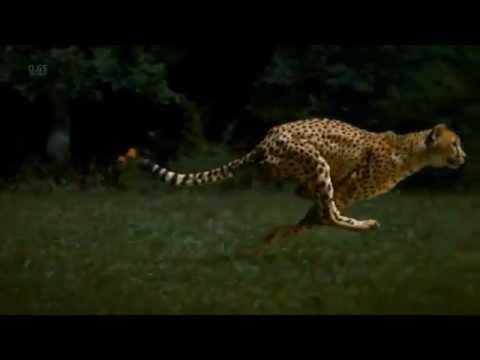 Download Cheetahs on the Edge