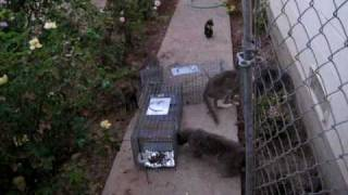 Large Colony of Feral Cats