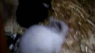 Lionhead Kits With Mum In Hutch 3 Weeks Old