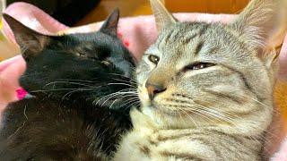 黒猫の愛情表現が止まらない件について