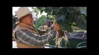 Mid-Fall Organic Garden Tour 2015: What Should a Healthy Broccoli Root System Look Like?