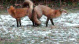 2 RED FOXES STUCK TOGETHER NORTH JERSEY
