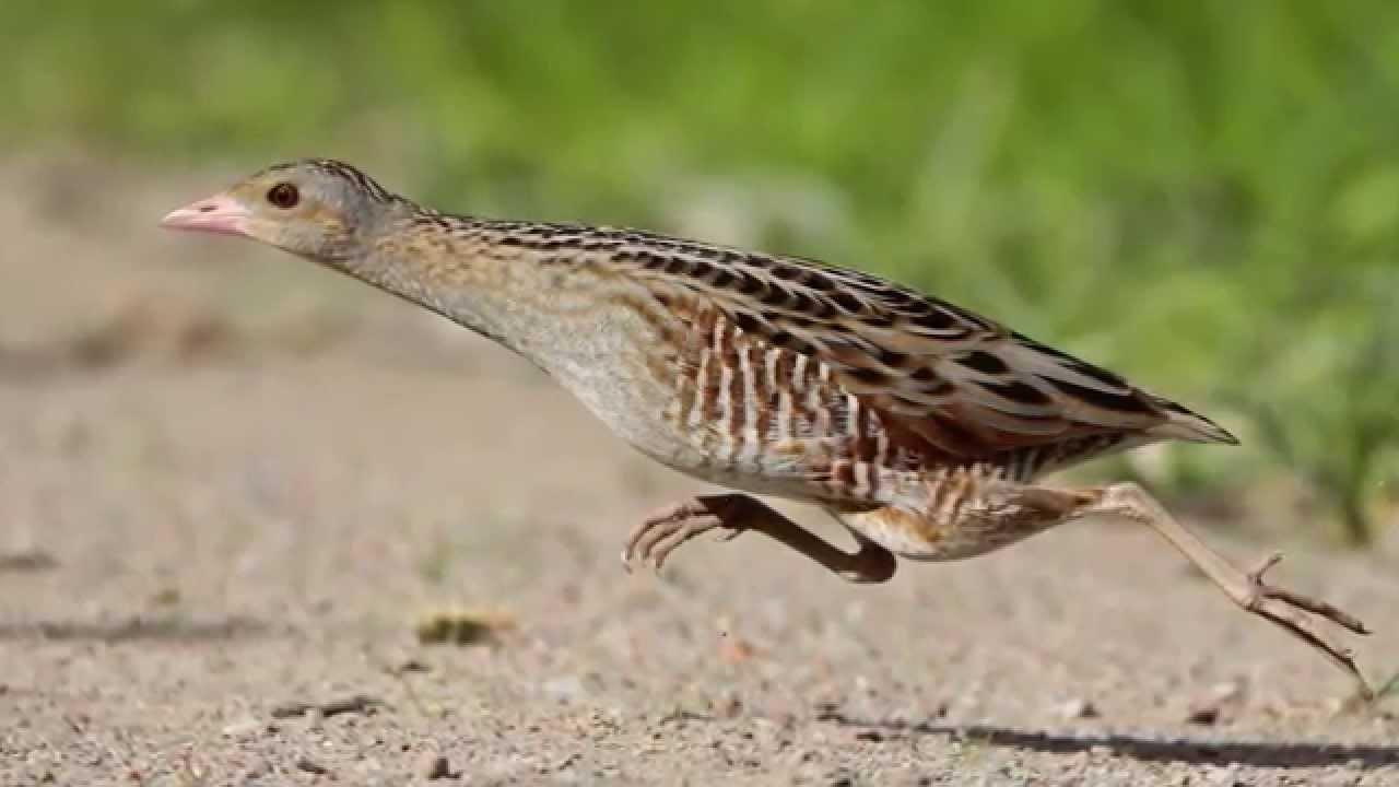 Звуки природы! Коростель. Красивое пение птиц - Голоса птиц