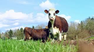 Les 2 Vaches : La Danse des Vaches en Normandie chez Eric