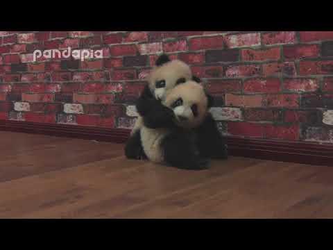 Panda Cubs' Fight