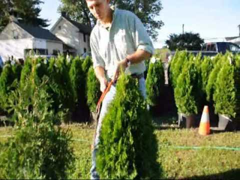 Take a look at how we trim arborvitae