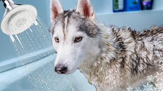 What a Bath and Grooming My Husky at Home Looks Like | Bath Time Challenge