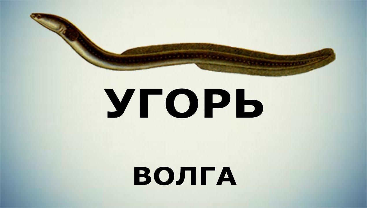 прикормка на угря русская рыбалка 3.99