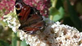 Butterflies feeding on Buddleja