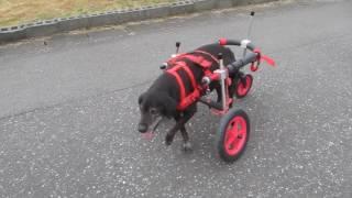 「はな工房」の犬用車椅子です。 前後の足が弱くなり自力で立つ事も出来...